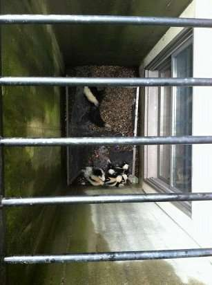 Skunk Family Fell into Window Well near Springboro, Ohio