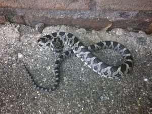 Dayton Ohio Snake Trapping Barnes Wildlife Control
