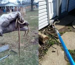 Garter Snakes removed from several Dayton Area Yards using our Snake Removal Service.