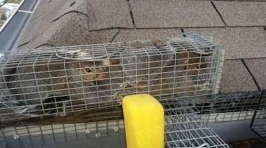 3 Squirrels Live Cage Trapped coming out of gutter in Vandalia, OH