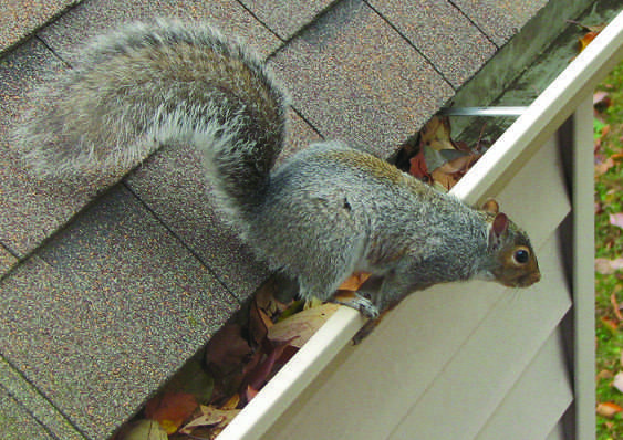 Squirrel Jumping off Gutter in Centerville, Ohio
