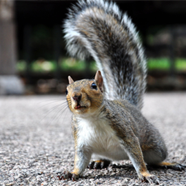 Humane, certified, licensed, and insured to protect you and provide professional squirrel control services!