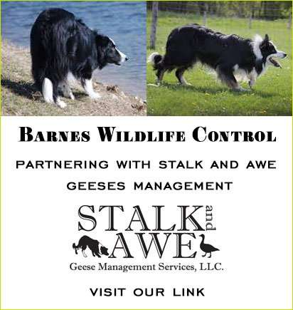 STALK AND AWE - PARTNERING WITH BARNES WILDLIFE REMOVAL. Barnes Wildlife Control is number 1 in geese removal.