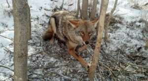 This coyote was humanely trapped by one of our trained professionals.
