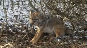 Barnes Wildlife Control will remove unwanted coyotes from your property. Call us now!
