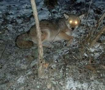 This coyote was trapped on the property of a client whose animals were being harassed.