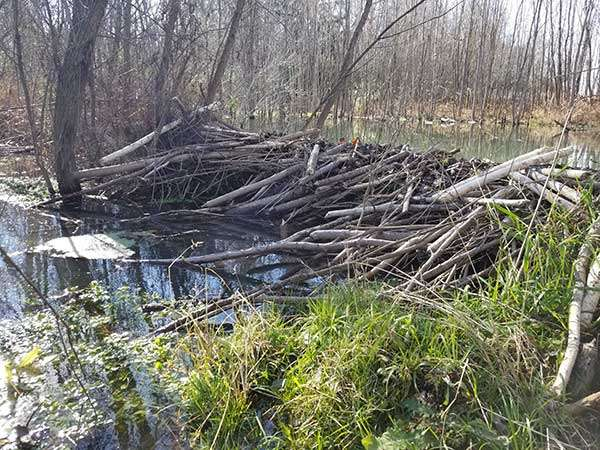 You Need Kettering Beaver Muskrat Removal Service Experts Services! Beaver dams are dams built by beavers to provide ponds as protection against predators such as coyotes, wolves, and bears, and to provide easy access to food during winter.