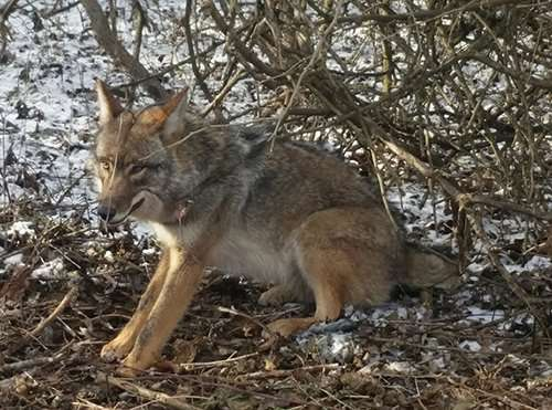 We are the best at coyote removal and fox removal. This is an image of a coyote trapped in woods