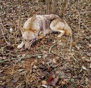 Coyote Removal Service Dayton