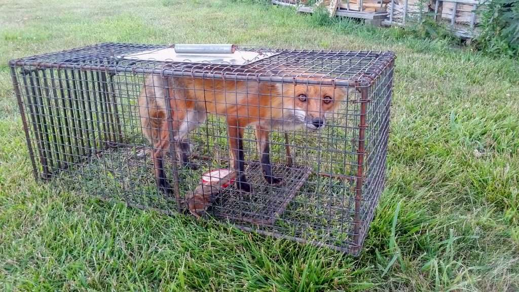 Do you want fox removal or coyote removal? We know how to trap fox humanely.