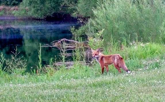 A fox in a clients field. Barnes Wildlife Control is number 1 at coyote removal and fox removal!