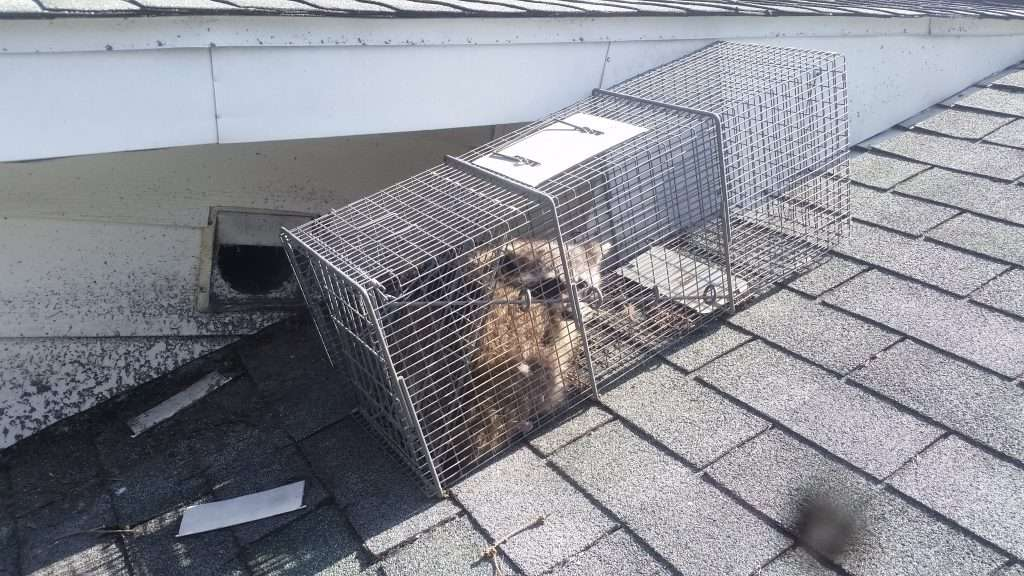 Barnes Wildlife Control's Miami County Animal Pest Removal are experts at raccoon trapping and removal.
