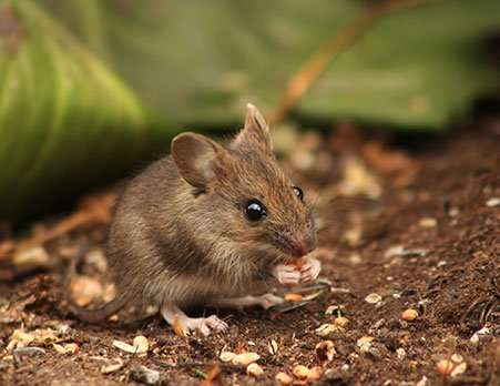 Kettering Rodent Removal Service. Deer Mice are often found in fields and woodlots but when your home has gaps that provide a pathway to shelter or food these pesky rodents will find their way into your home and live in the attic.