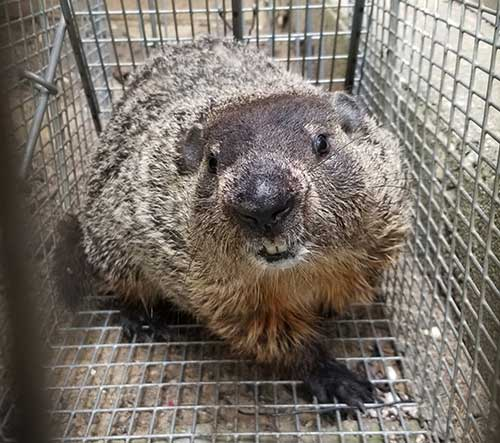 We captured this groundhog which was digging-up the client's yard.