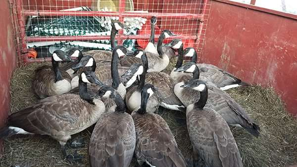 Geese caught in a roundup on a clients property