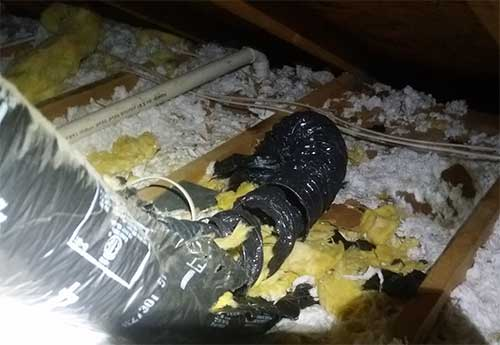 A raccoon got into this attic leaving feces and damaged insulation and ductwork. Covington Animal Pest Removal Services is #1.