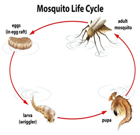 Barnes Wildlife Control's Professional Mosquito Removal Service  and mosquito cycle image.