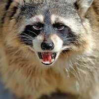 Zombie Raccoons in Dayton, Ohio | Strange Raccoon Activity in the Attic