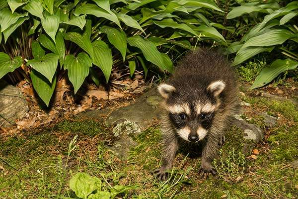 Raccoons Active During the Daytime in Dayton, Ohio | Why Is That?