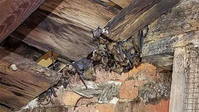 Shelby County Animal Pest Removal - Saint Paris Bat Removal Project coming to an end today with the attic restoration project underway.