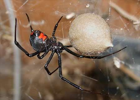 Barnes Wildlife Control Spider Removal Service  and the Black Widow And Her Eggs