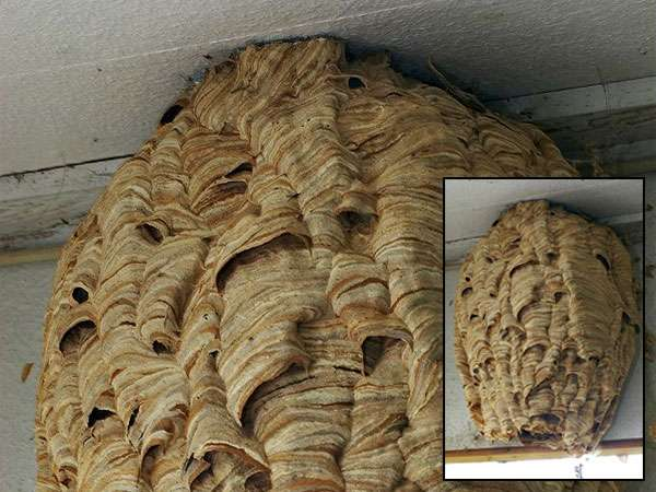 This is what a European Hornet Nest can look like. Barnes Wildlife Control Hornet Removal Service says Please stay away!