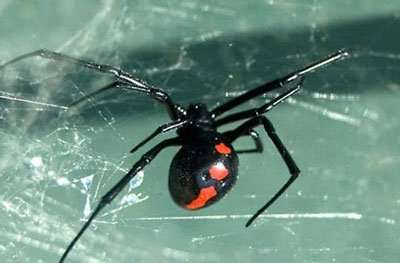 Barnes Wildlife Control Spider Removal Service Nothern Black Widow