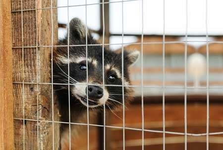 Let Barnes Wildlife Control Raccoon Removal Service make your home raccoon free.