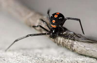 Barnes Wildlife Control Spider Removal Service Southern Black Widow
