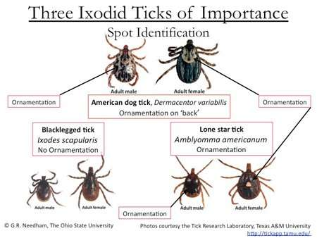 Barnes Wildlife Control Tick Removal Service, asks you to please use this tick identification chart. If you find a tick on your body or your pet you'll be glad you used this chart!