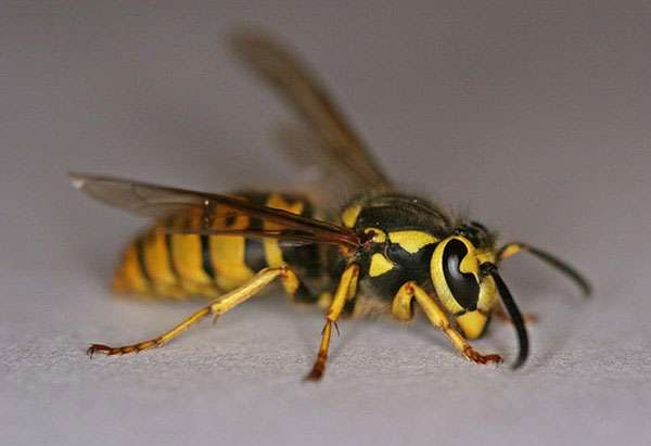 Barnes Wildlife Control Hornet Removal Service Yellow Jacket