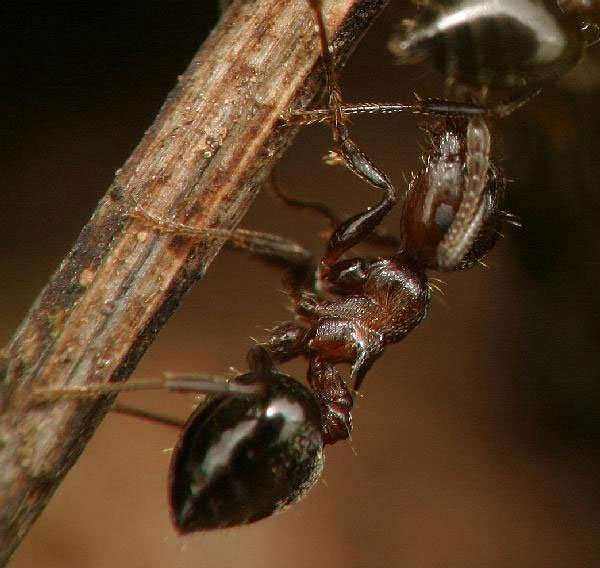 Acrobat Ants look much like Carpernter Ants. But, when disturbed, acrobat ants lift their distinctive, heart-shaped gasters into the air as a defensive posture, much like an acrobat might balance on her hands.  Thanks to The Backyard Arthropod Project.