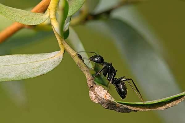 Ants will make their way into your home via branches touching your house. Once on your home they intelligence takes over and they will find an opening ifBarnes Wildlife Control Ant Removal Service hasn't secured your home.