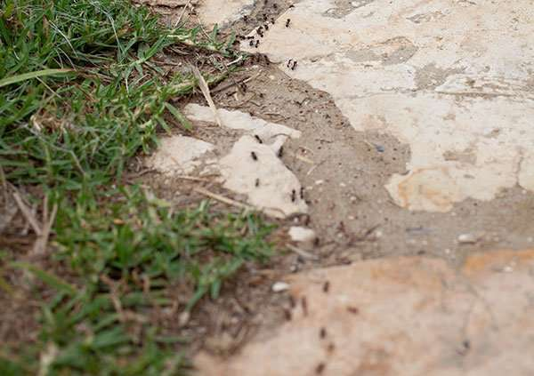 Ants nesting outside your home generally will find a way to get inside your home. They need food and water just like you.