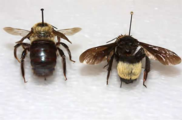 Carpenter Bee compared to Bumble Bee. Call Barnes Wildlife Control Carpenter Bee Removal Service.