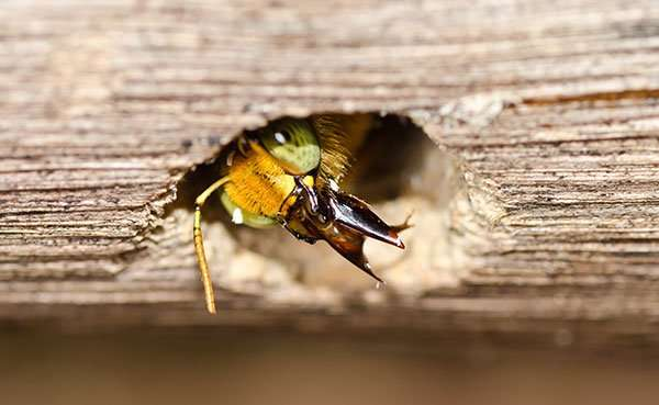 We spray a specialized dust in the holes where carpenter bees exist.
