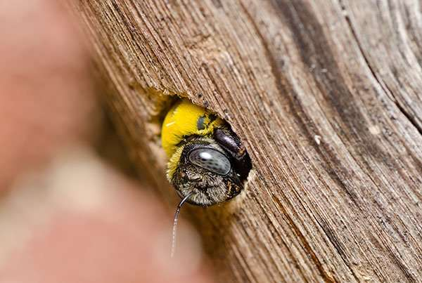 Have you seen any bees sticking their heads out small holes in wood? Hey, you probably have carpenter bees if they look like this fella.