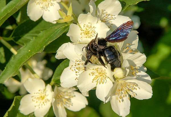 Carpenter bees feed on pollen and nectar and are important plant pollinators. Brought to you by Barnes Wildlife Control Ant Removal Service of Ohio.
