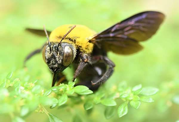 When Carpenter Bees nest within your structure they leave on a regular basis searching for pollen and nectar from flowers. Get Barnes Wildlife Control Carpenter Bee Removal Service.