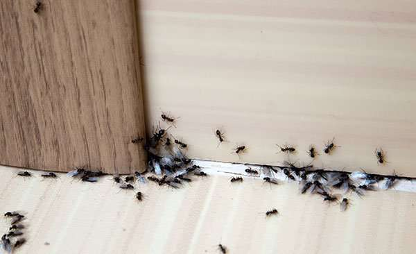 Hey, the ants got in from someplace and they have found food and water in your home. So what are you going to do next. Read out hints below. Then callBarnes Wildlife Control Ant Removal Service.
