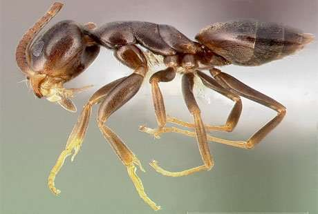 The odorous house ant is about 1/8-inch long, dark brown to black and smells like rotten coconut with a hint of other odors when crushed brought to you by Barnes Wildlife Control Ant Removal Service.