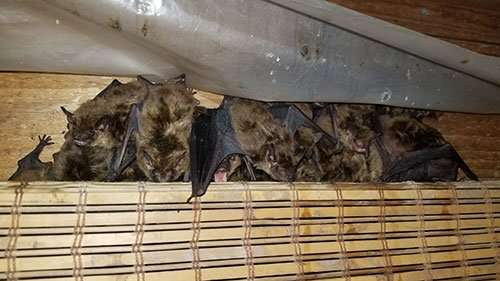 Some bats in a client's attic. Removed by Bellefontaine Ohio Bat Removal Service.