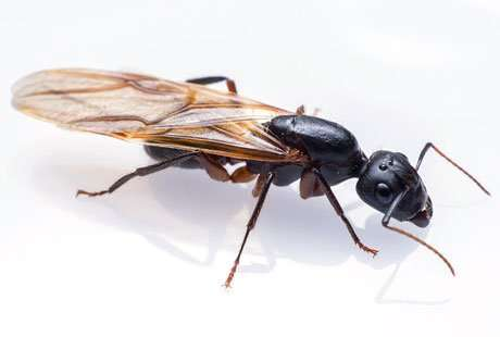 Carpenter ants are large relative to other species in the Greater Dayton Miami Valley area of Ohio area. They make their nests in wood but don't eat it.