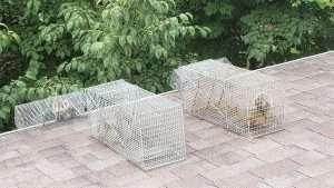 Barnes Wildlife Control catches problem squirrels in Dayton.