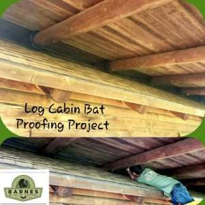 Log Cabin Bat Removal: A specialist bat-proofs a log cabin in Dayton.