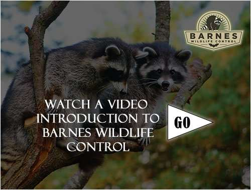 Barnes Wildlife Control Video Introduction