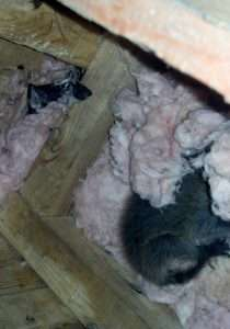 Raccoon Babies in Attic Insulation