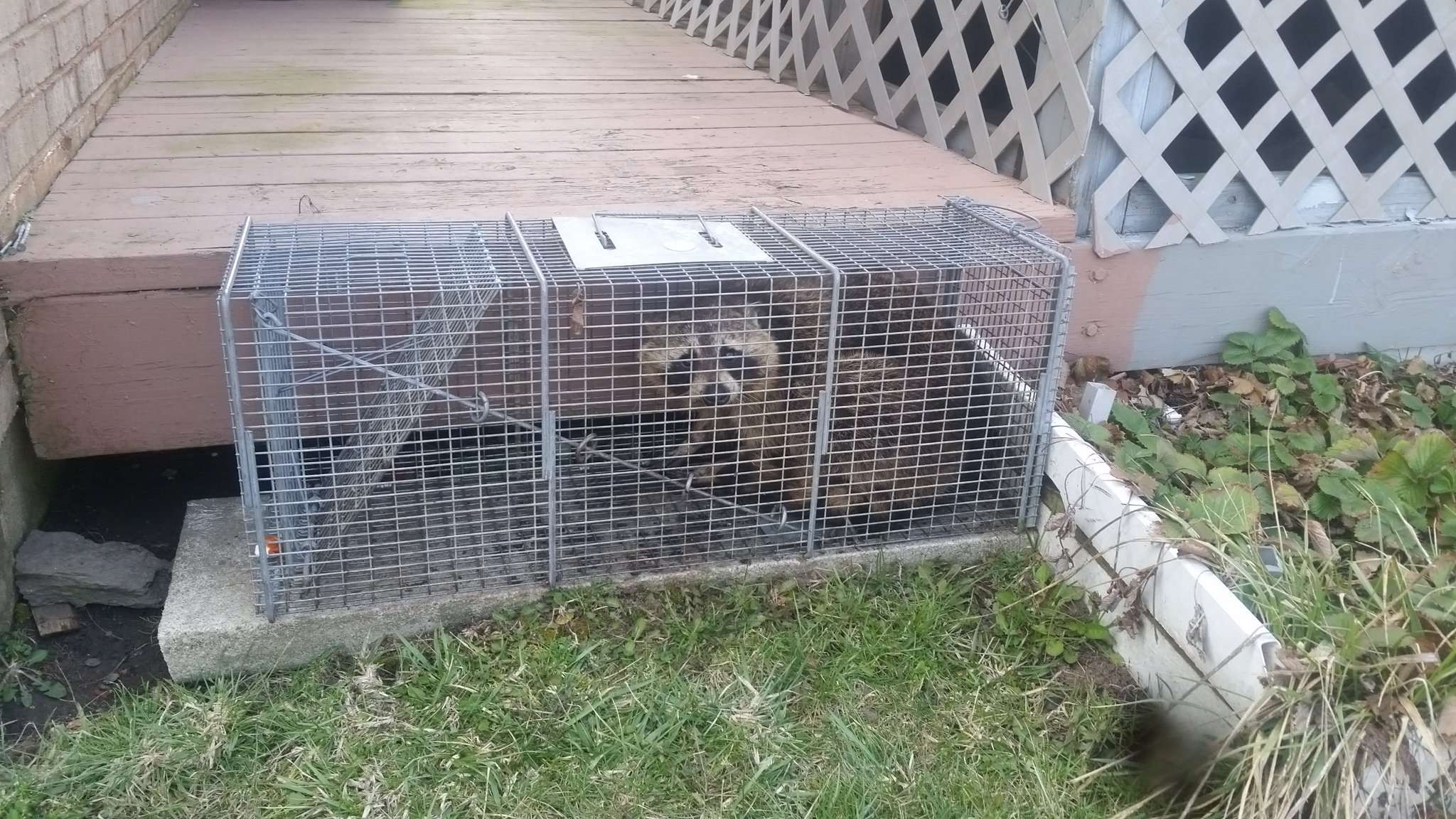 Dayton Raccoon Control by Barnes Wildlife Control