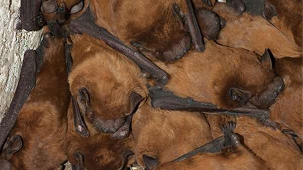 BELLEFONTAINE OHIO BAT REMOVAL SERVICE finds bats in a cellar.