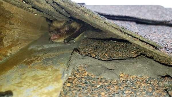 bat under shingles photo